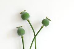 Teste del seme di papavero Fotografia Stock