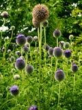 Teste del seme del Echinops del cardo selvatico di globo fotografia stock libera da diritti