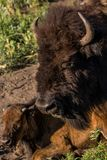 Teste della Buffalo del bambino e dell'adulto in Custer State Park in Sud Dakota fotografie stock libere da diritti