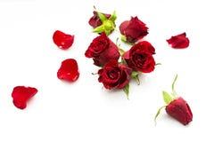 Teste della rosa rossa Fotografie Stock Libere da Diritti
