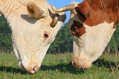 Teste delle mucche contro un pascolo Fotografia Stock
