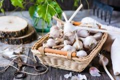 Teste di aglio in un canestro di vimini fotografia stock