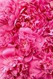 Teste di fiore del Peony - priorità bassa Fotografia Stock Libera da Diritti