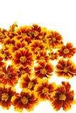 Teste di fiore del tagete sopra bianco Fotografia Stock Libera da Diritti