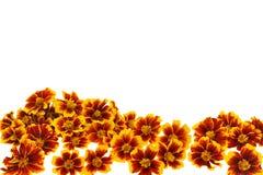 Teste di fiore del tagete sopra priorità bassa bianca Immagini Stock