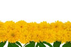 Teste di fiore di laciniata di Rudbeckia nella riga immagini stock