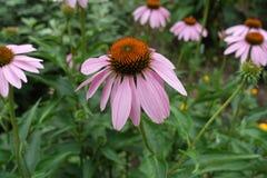 Teste di fioritura a forma di cono dell'echinacea purpurea immagine stock libera da diritti