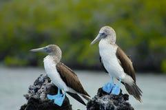 Teste di legno pagate blu - Galapagos - Ecuador Fotografie Stock Libere da Diritti