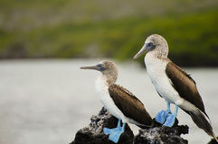 Teste di legno pagate blu - Galapagos - Ecuador Immagine Stock Libera da Diritti