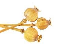 Teste e semi di papavero del seme di papavero Fotografia Stock Libera da Diritti