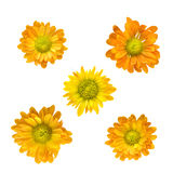 Teste gialle del crisantemo isolate su bianco Immagini Stock Libere da Diritti