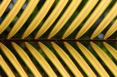 Teste padrão amarelo da folha do coco Imagem de Stock
