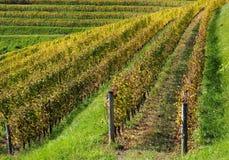 Teste padrão amarelo e verde dos vinhedos no outono Fotos de Stock Royalty Free