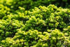 Teste padrão bonito do verde do pinho Fotos de Stock