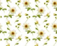Teste padrão branco de Dahliaseamless Fotografia de Stock Royalty Free