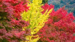Teste padrão da árvore amarela da folha da nogueira-do-Japão e da árvore de bordo vermelho como o fundo fotografia de stock