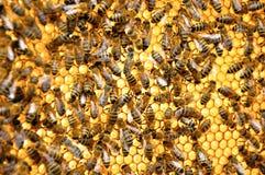Teste padrão da abelha Imagens de Stock