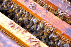Teste padrão da abelha Fotografia de Stock