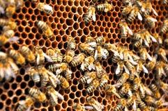 Teste padrão da abelha Foto de Stock Royalty Free
