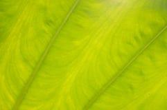 Teste padrão da folha da banana Imagem de Stock Royalty Free