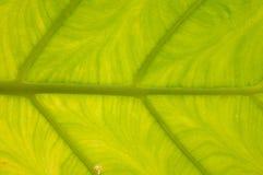 Teste padrão da folha da banana Fotos de Stock