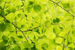 Teste padrão da folha da faia Fotos de Stock