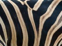 Teste padrão da pena da pele do corpo da zebra fotografia de stock
