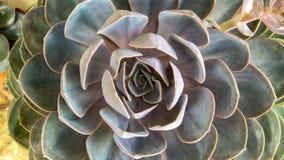 Teste padrão da planta suculento do peacockii do echeveria foto de stock