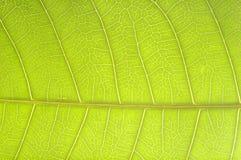 Teste padrão da superfície crescente da folha Foto de Stock