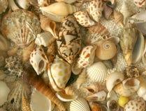 Teste padrão da textura da concha do mar Imagem de Stock