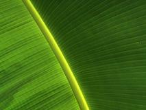 Teste padrão da textura da folha da banana Fotografia de Stock Royalty Free