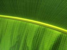 Teste padrão da textura da folha da banana Imagem de Stock