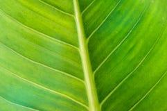 Teste padrão da textura da folha para o fundo, o ambiente e o ecol da mola Fotos de Stock