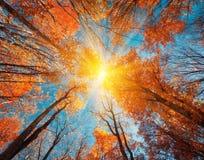 Teste padrão das árvores de floresta do outono Olhando acima o céu azul Backgroun Fotos de Stock Royalty Free