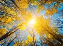 Teste padrão das árvores de floresta do outono Olhando acima o céu azul Backgroun fotografia de stock royalty free