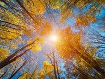 Teste padrão das árvores de floresta do outono Olhando acima o céu azul Backgroun Foto de Stock