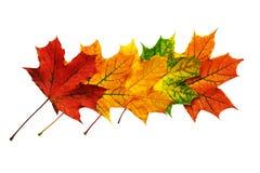 Teste padrão das folhas de bordo caídas isoladas no branco Imagem de Stock