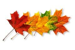 Teste padrão das folhas de bordo caídas isoladas no branco com sombras Fotos de Stock