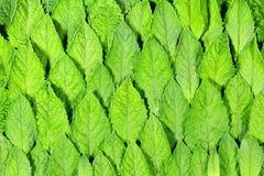 Teste padrão das folhas de hortelã fresca Imagem de Stock Royalty Free