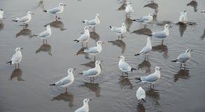 Teste padrão das gaivotas Foto de Stock