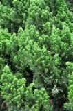 Teste padrão de filiais de árvore do pinho Fotos de Stock Royalty Free