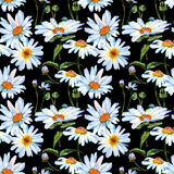 Teste padrão de flor da margarida do Wildflower em um estilo da aquarela Fotos de Stock Royalty Free