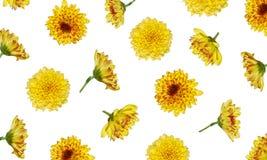 Teste padrão de flor do crisântemo isolado no fundo branco imagem de stock royalty free