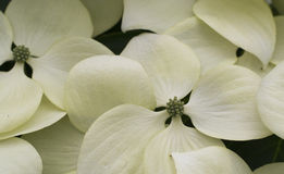 Teste padrão de flores do corniso na flor Fotos de Stock