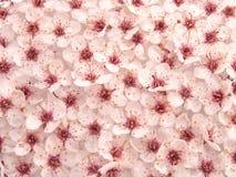 Teste padrão de flores II da ameixa Foto de Stock Royalty Free