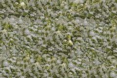 Teste padrão de florescência da árvore Fotografia de Stock Royalty Free