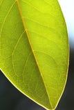Teste padrão de uma folha verde Fotografia de Stock Royalty Free