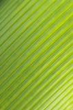 Teste padrão diagonal da folha de palmeira Fotografia de Stock