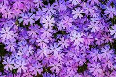 Teste padrão do flox pequeno roxo das flores Flox no flowerbed_ fotografia de stock royalty free