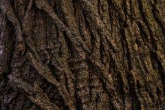 Teste padrão do fundo da textura da árvore da árvore de Brown Fundo imagem de stock royalty free